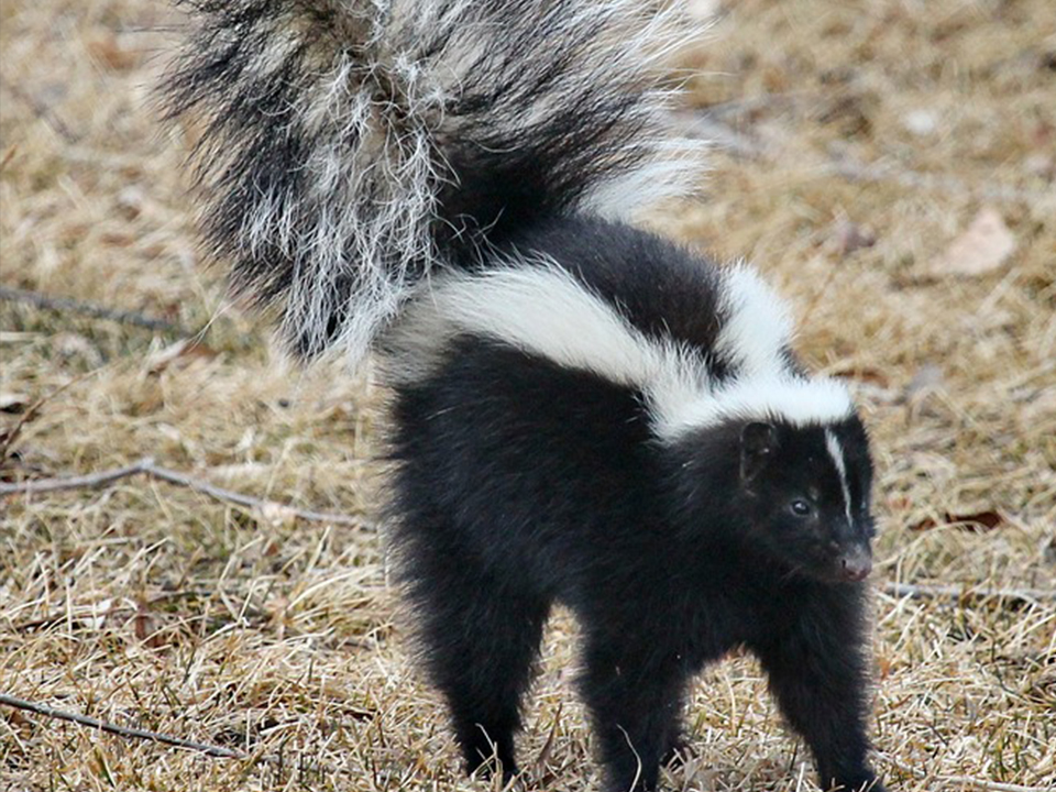 Black & White Skunk on Bloomington Property
